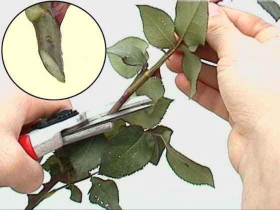 Уход за срезанной розой в домашних условиях