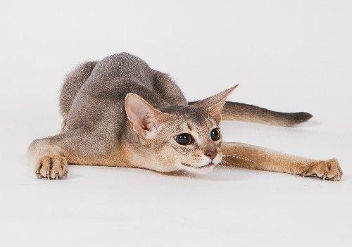 Породы кошек с фотографиями и описанием  МирКошекРф